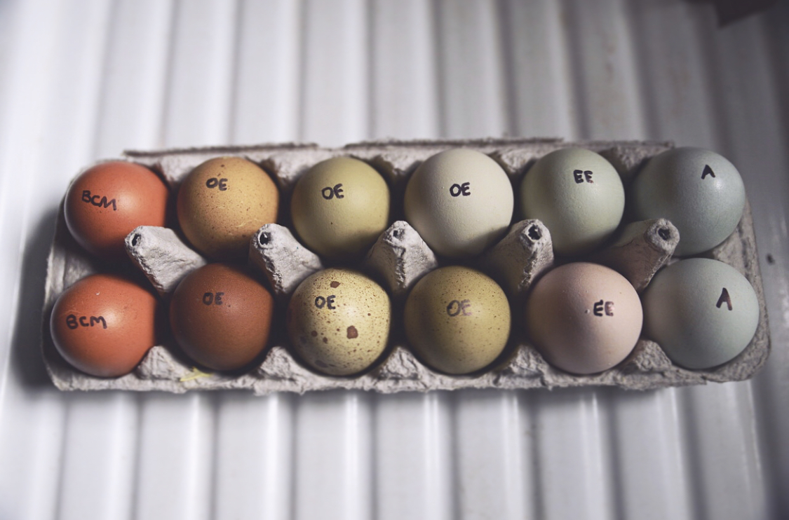 LOCAL PICK UP - Pick up your hatching egg order at the farm! Use code OGP295 at checkout to waive the shipping cost. Email opengatepoultry@gmail.com for pick up date.