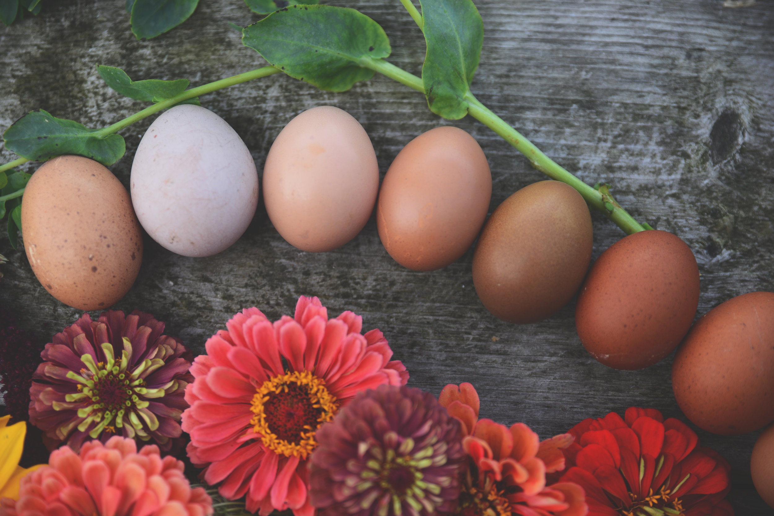 SEP + OCT 2019 - We are back! Sep 1, 2019 | We are taking orders for immediate Sep + Oct shipping across the U.S. We are in limited supply this time of year, but we do have some great ones to offer (perhaps for a broody hen). *We were closed Jul + Aug. It was too hot to ship eggs.
