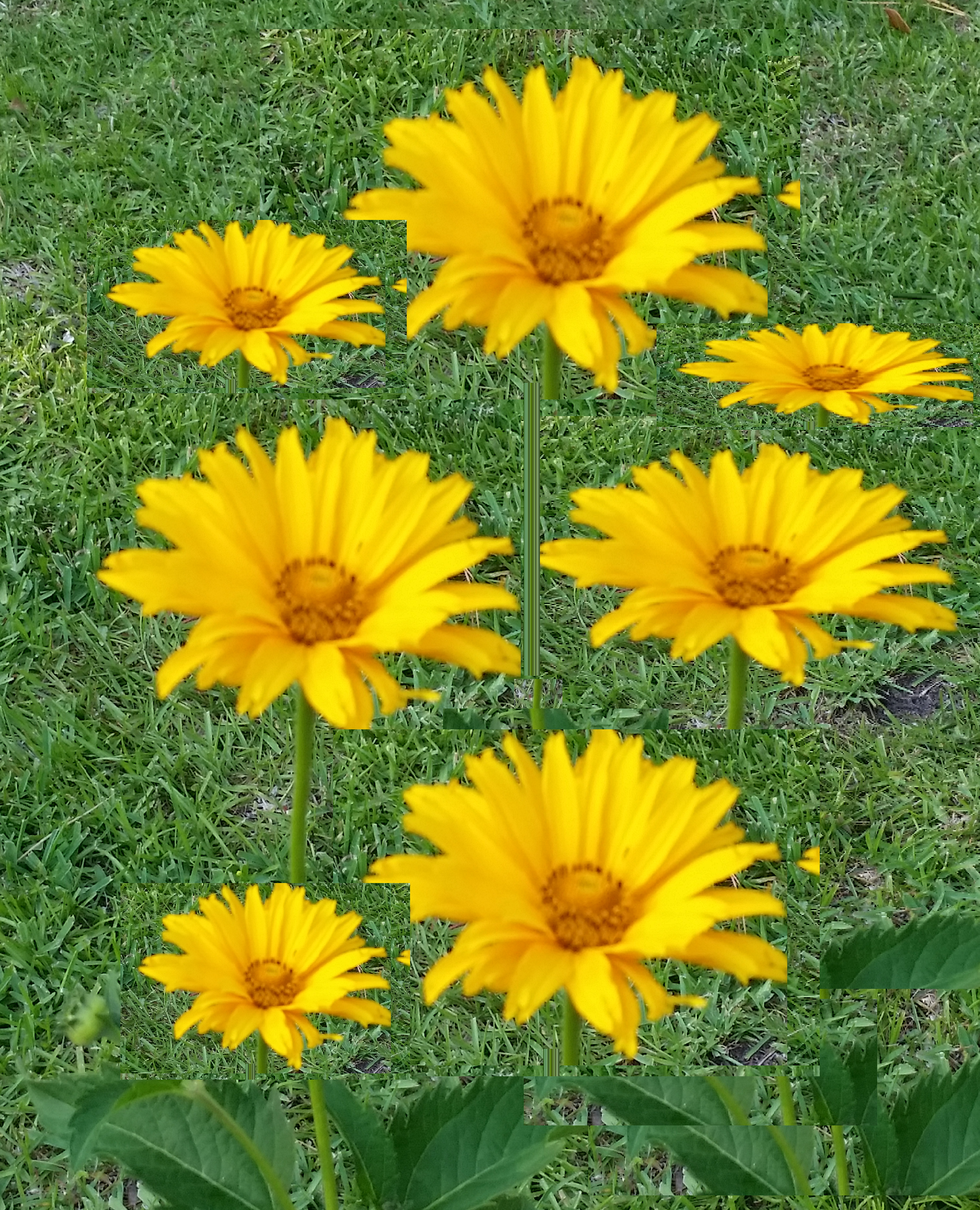 yellowdaisies.png