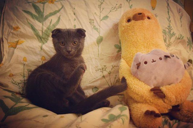 Without further ado..... everyone, meet Hugo! #kitten #kitty #scottishfold