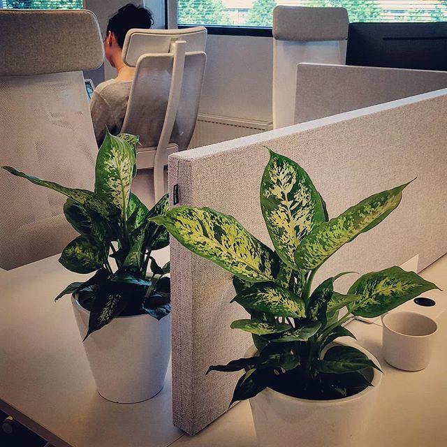 Tunnelmaa hieman työpisteille ❤️🌱 #plantsarefriends #cloud2 #pilveistämmesuurellasydämmellä
