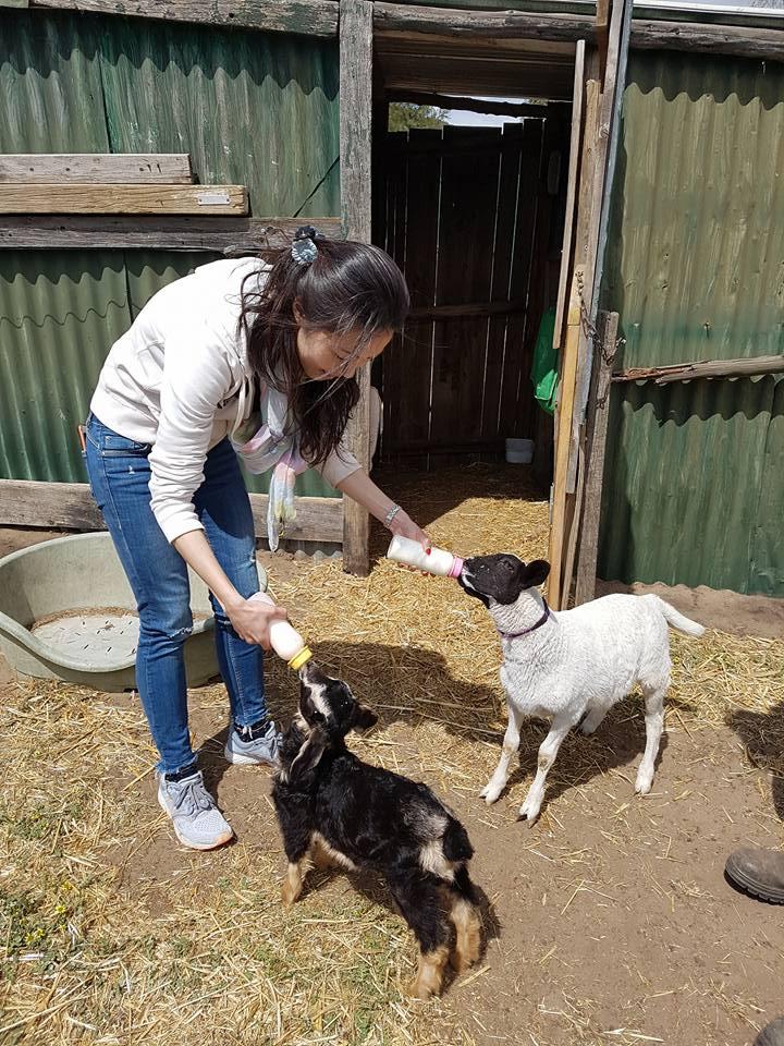 Samittar Mini Goat Stud