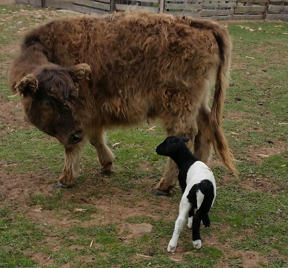 Why Buy A Mini Goat? -