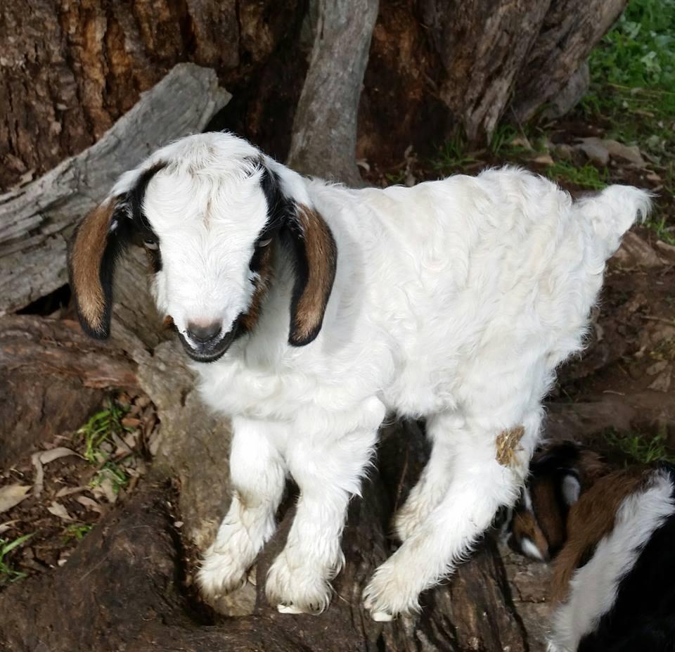 Samittar Mini Goat Stud.jpg