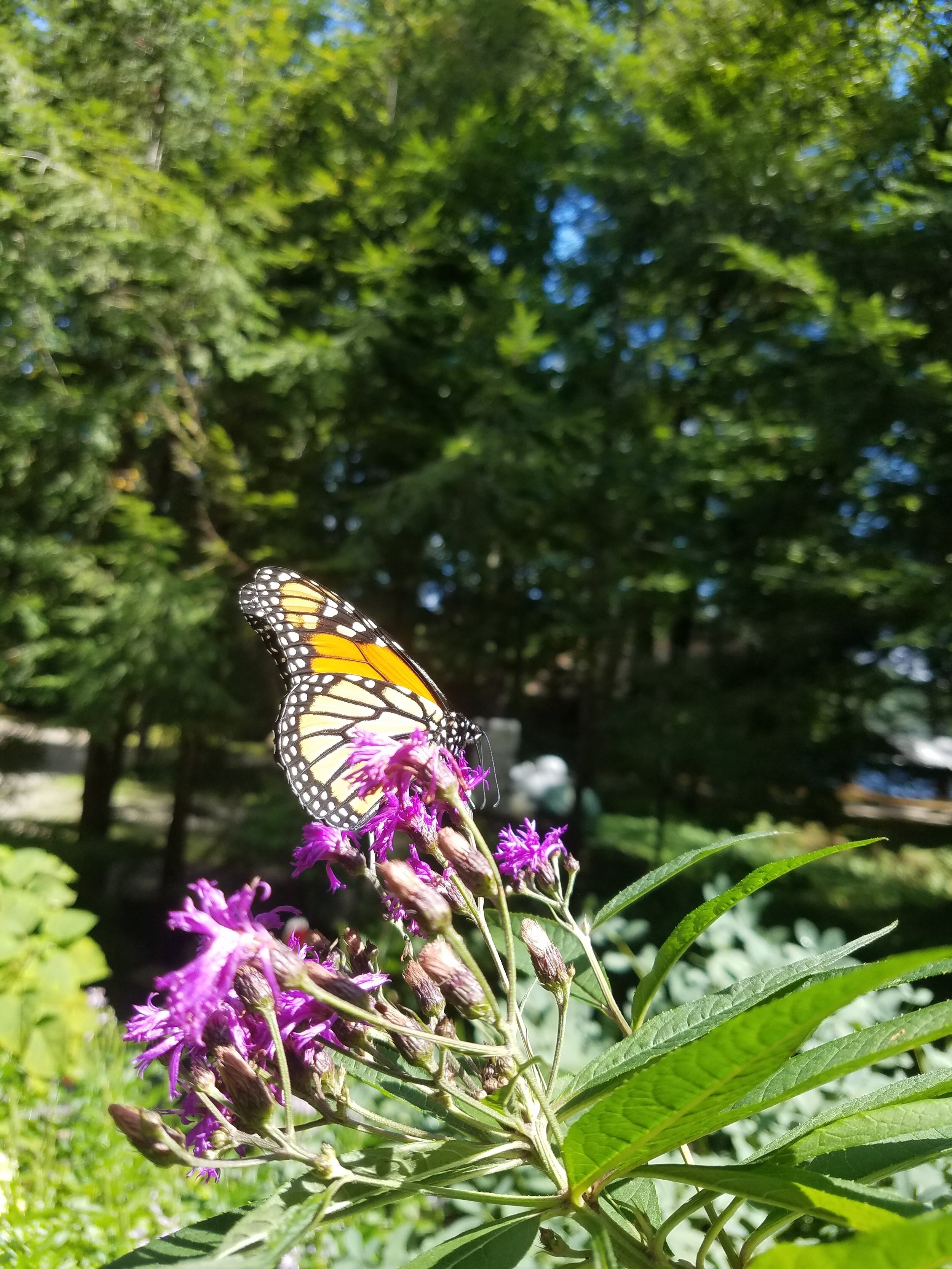 Monarch on NY Ironweed.jpg