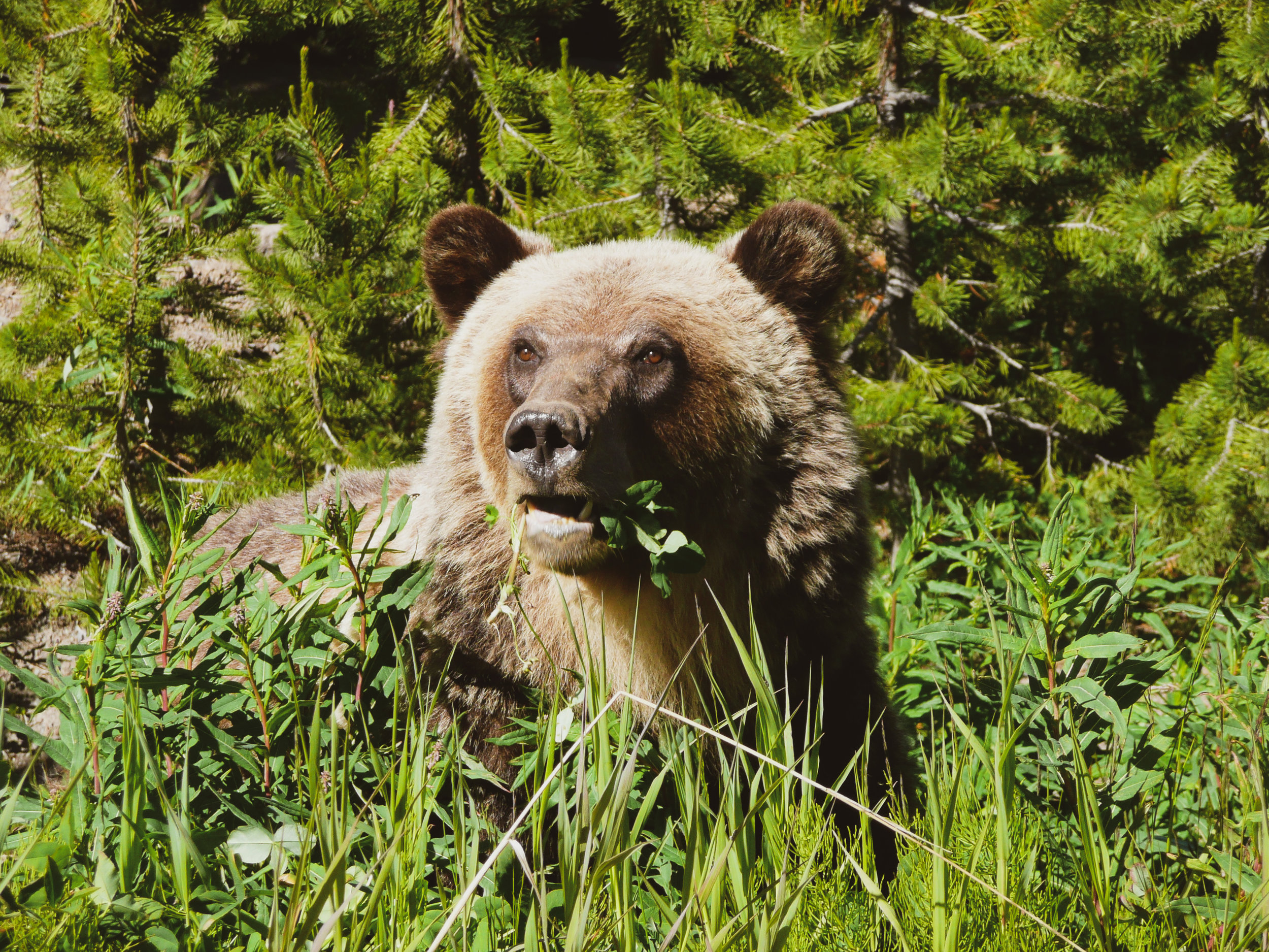 Grizzly eating.jpg