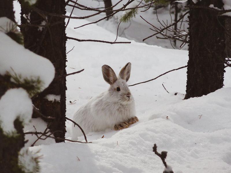 Snow rabbit.jpg