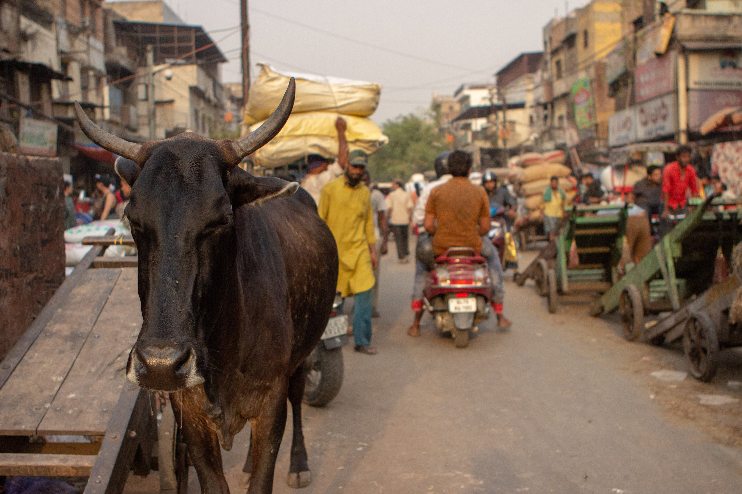 Capital Gains:   Humans aren't the only animals who support the market economy. The controlled chaos of the streets serves as the backdrop in the suffocating heat, where those on two legs and four, earn their means to survive with no reprieve between day and night.