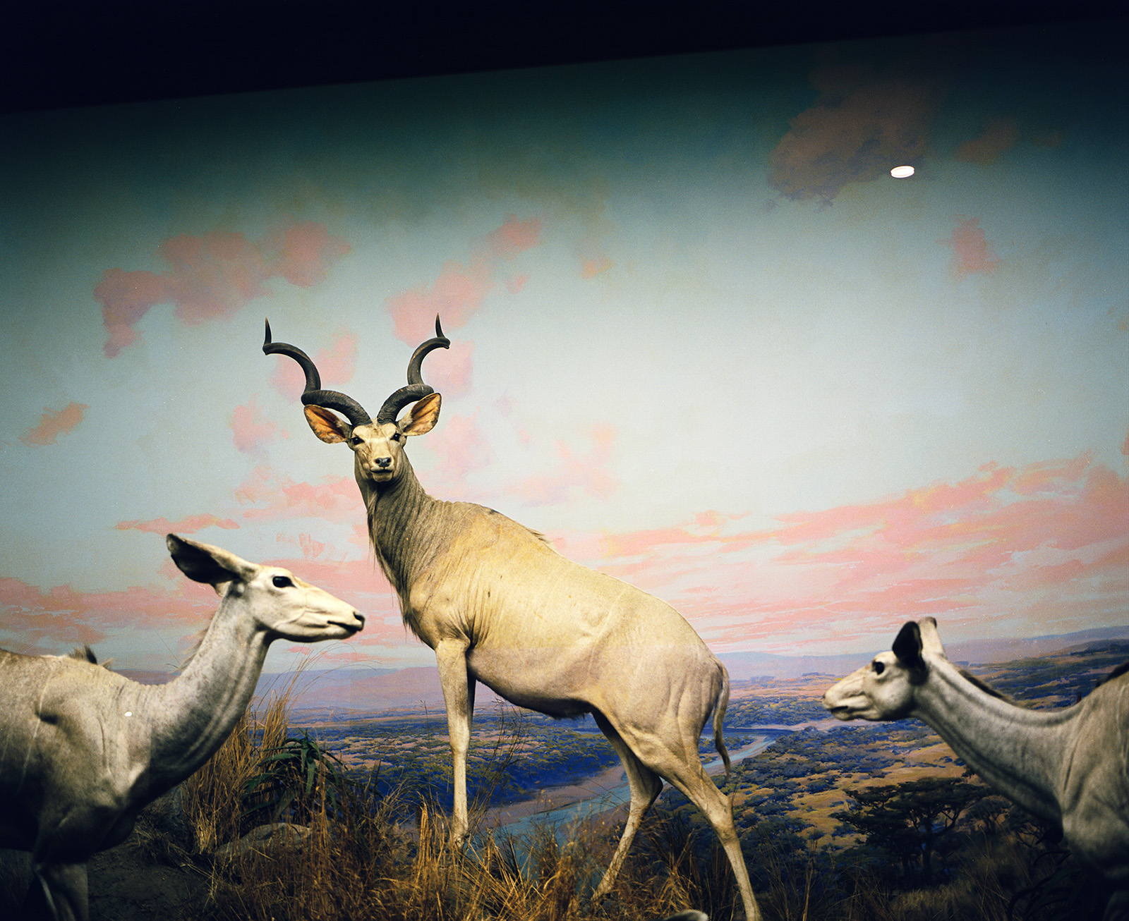 Diorama with antelopes (at least I think they are antelopes), Los Angeles County Museum 2008 © Tanya Clarke