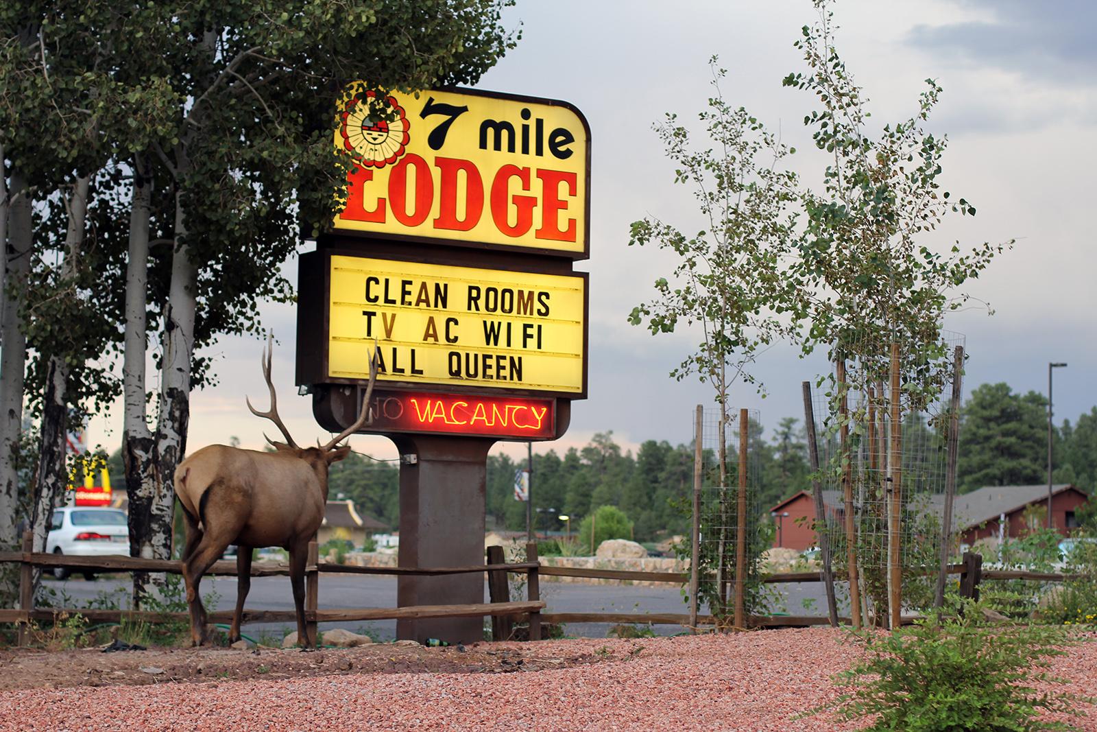 An elk in Tusyan, Arizona, USA 2016