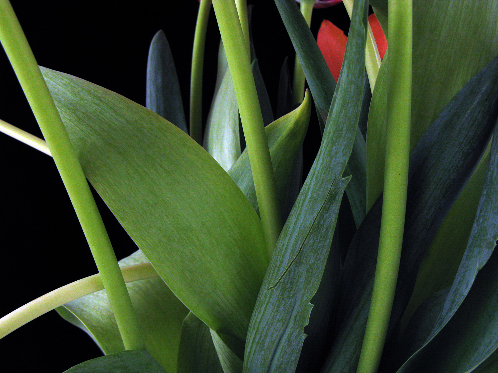 Tulips, 2008