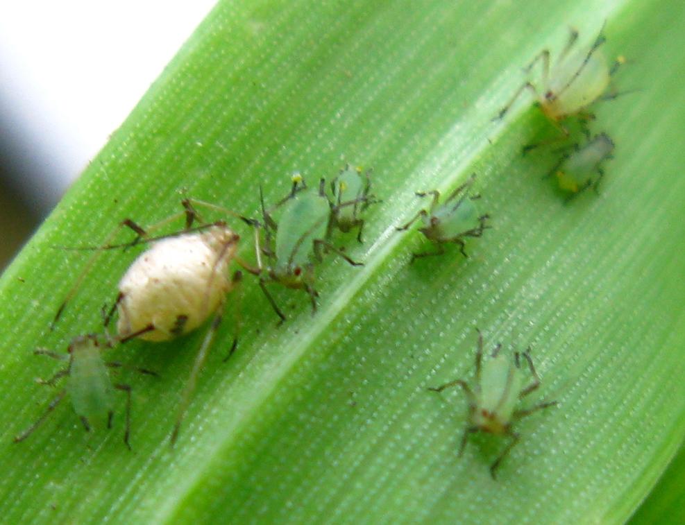 Om ni inte märkt det har vi tusentals gäst arbetare(parasitsteklar) som jobbar med biologisk bekämpning. De förpuppar (se på den uppblåsta gula bladlusen) oskadliga bladlöss som de sedan kläcks ur och kan då flyga runt i växthuset och föröka sig via skadliga bladlöss.