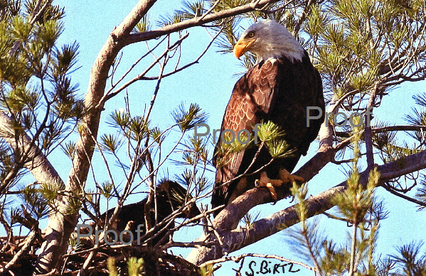 1. Eagle with Baby in Nest