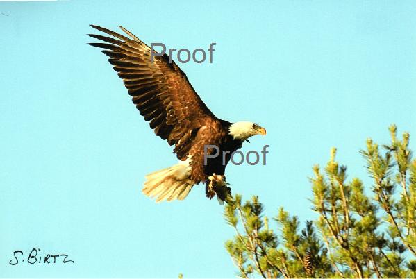 3. Eagle Landing on Top Branch