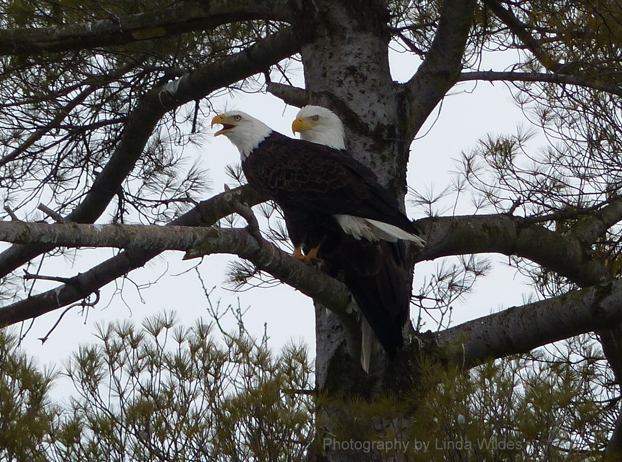 EaglePair2.2014.05.11.LW.B.jpg