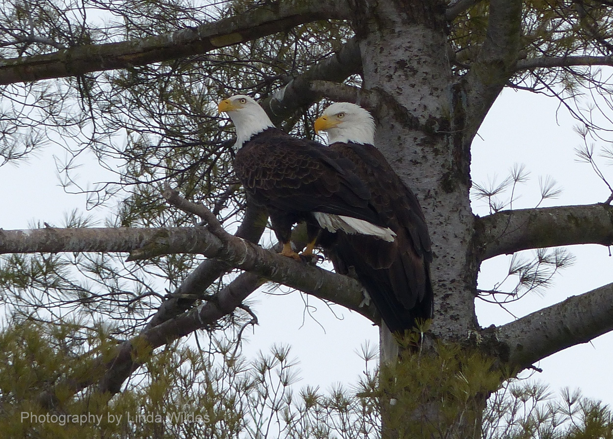 EaglePair3.2014.05.11.LW.B.jpg