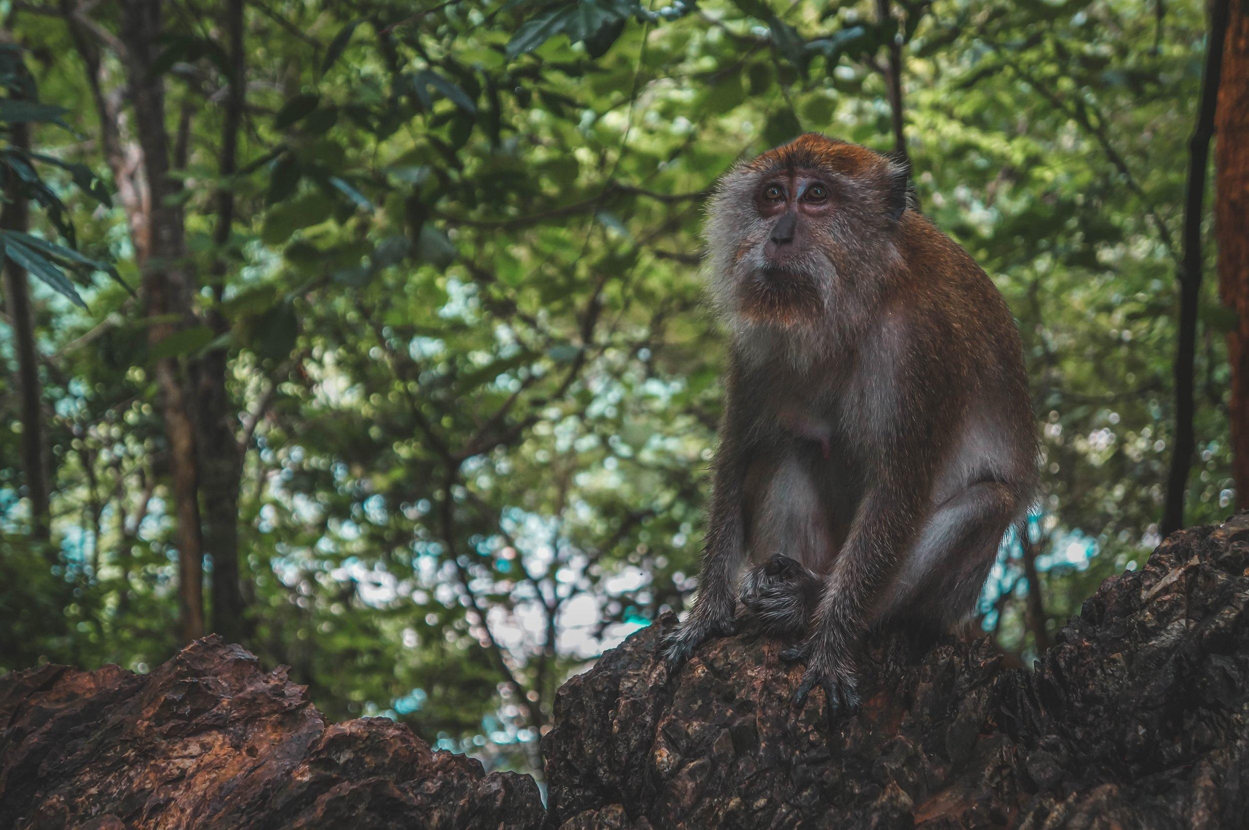 Monkey in Malaysian rainforest