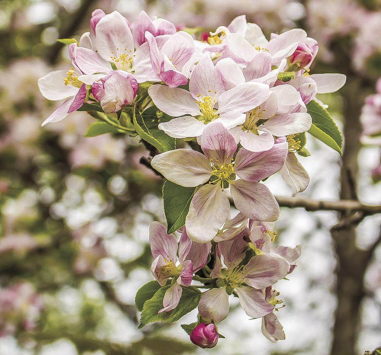Apple Blossom Run image-2.jpg