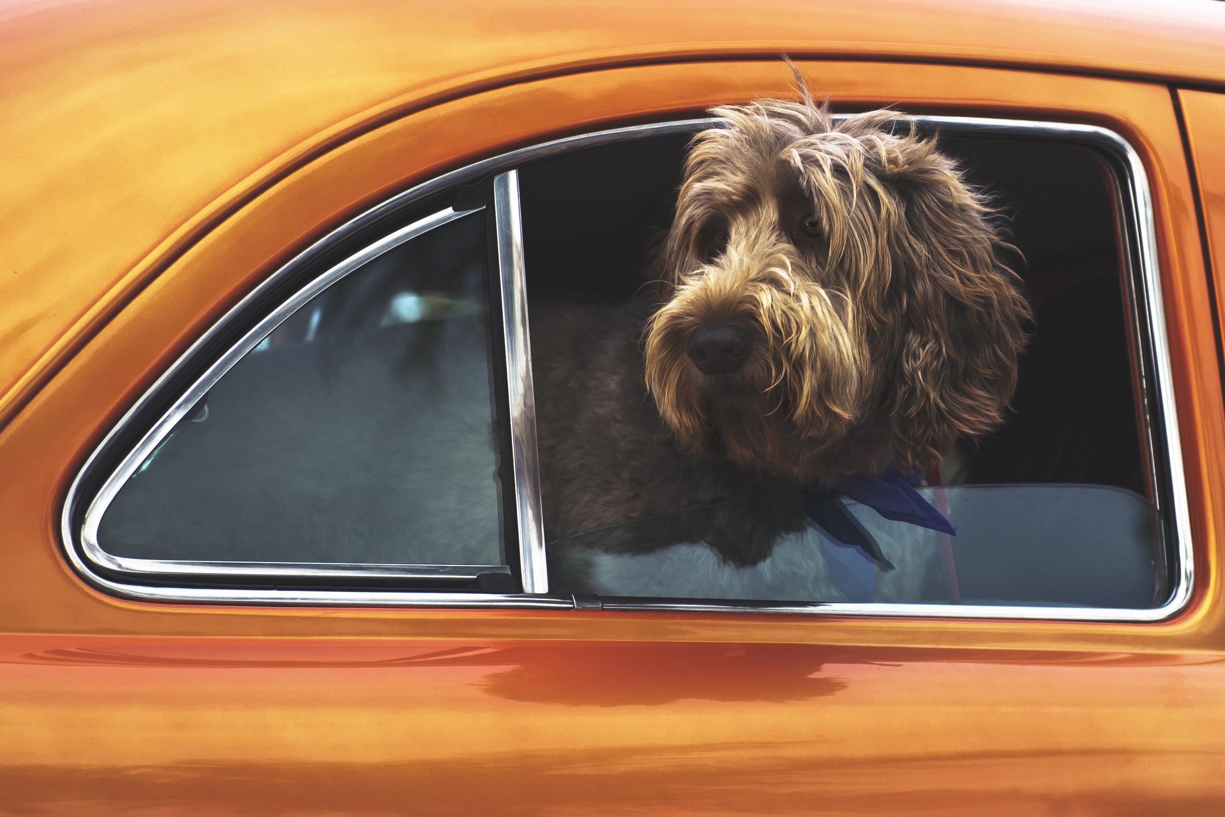 Dog in orange car