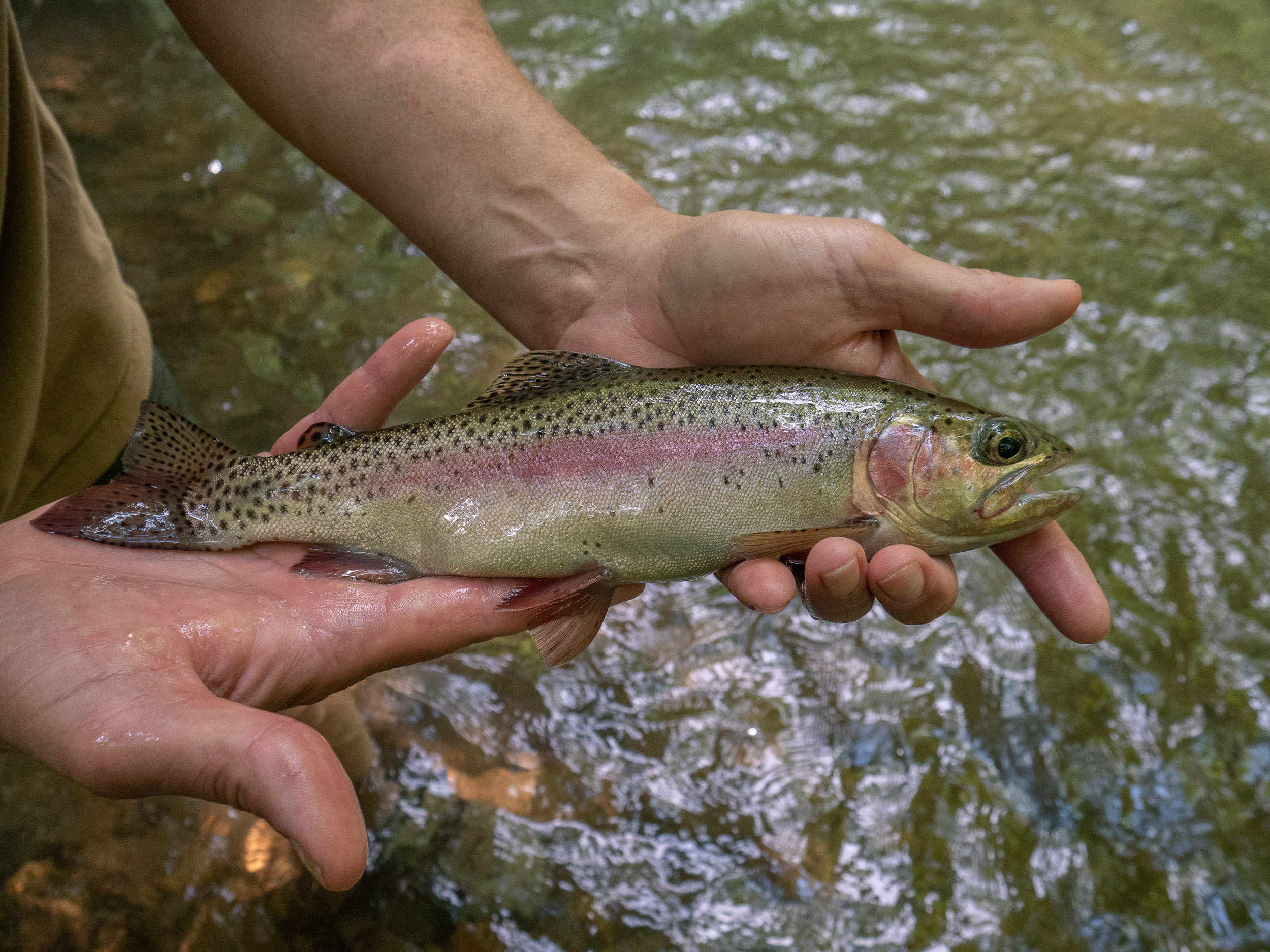 These rainbows aren't big, but they are pretty and feisty.