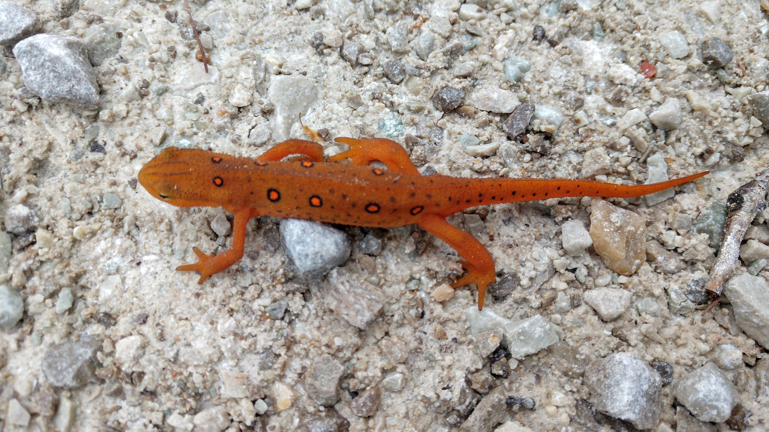 Red Salamander on Tunnel Ridge Road.jpg