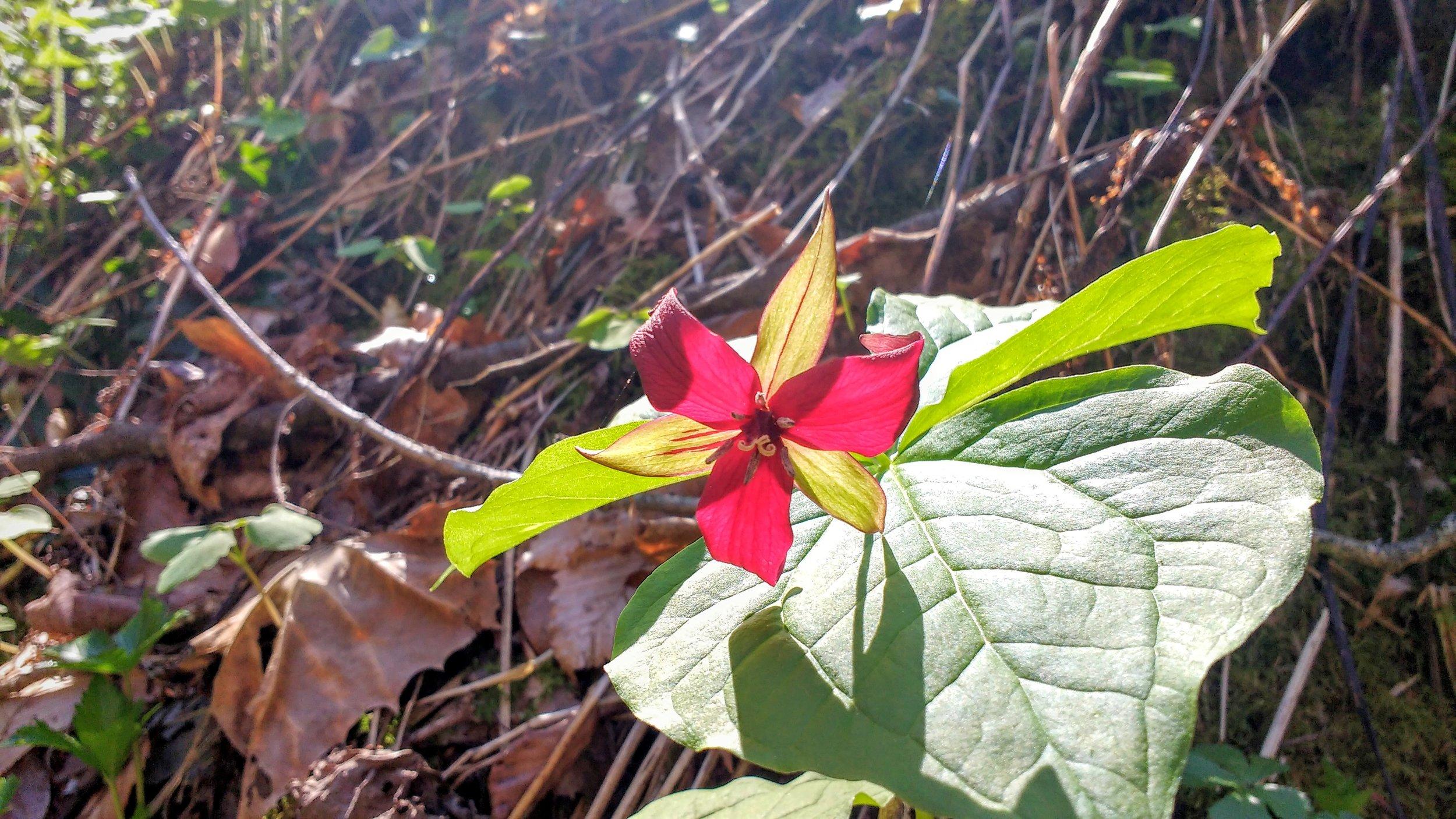 Red Trillium .jpg
