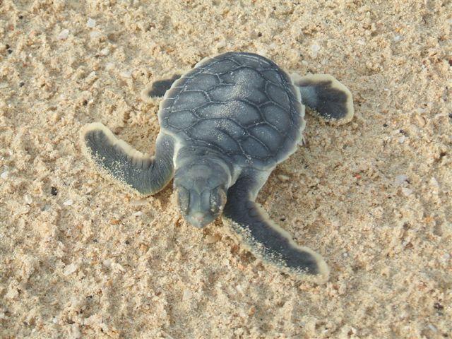 turtle-hatchling.jpg