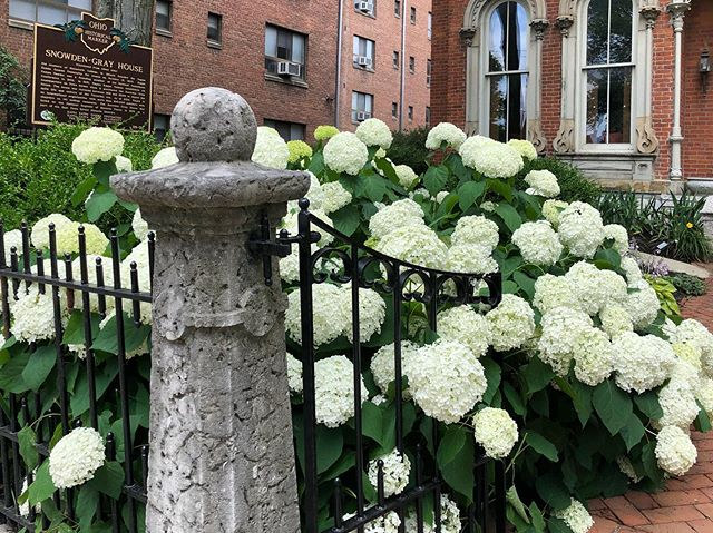 These storms have our hydrangeas partying more than we do! 🥂😉🍾 #snowdengraymansion #columbusevents