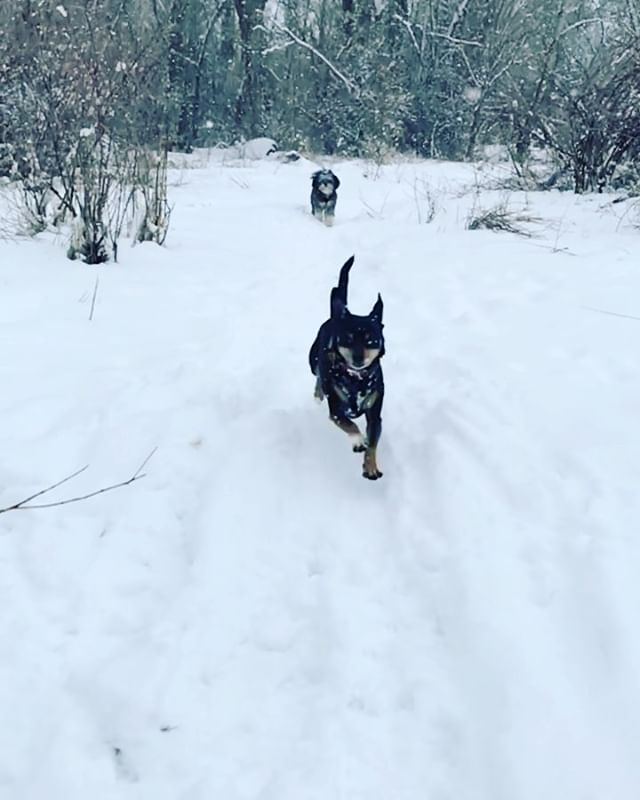 "Happy Friday friends!🌟 A note from our furry four legged friends: May your joy today be in equal measure to and as contagious as the joy of Theo, or most any fur baby, running through freshly falling snow.❄️🐶❄️ May you remember to savor the joy in simple things. And may you remember not to hold back when you feel like being EXTRA AF.😂 And, if you are doing the brave work of sitting with some heavier emotions today, and feel somewhat distant from resonating with this joy, may this serve as your reminder of how courageous the work you're doing is, and that you will get through this and find joy and lightness of being again, in due time, without any need to rush the process. In the meantime, as you surrender to what each moment has to offer you, perhaps you may enjoy a simple moment of vicarious glee... a brief respite to find a deep inhale and exhale amongst the processing work you are doing.💗 (👉🏼And be sure to swipe for more powdery slo-mo goodness which for some reason conveys ""extra extra!"" glee per second).🐶☺️🌟❄️ • • • • • #findyourjoy #liveinthemoment #loveyourself #furbaby #rescuedogs #joyinthesimplethings #mentalhealth #nurtureandmend #boiseacupuncture #boiseacupuncturist"