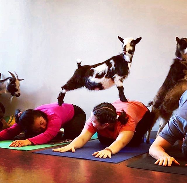 #DC 🐐 Have you always wanted to try the newest fitness craze - goat yoga? Now you can at the Arlington County Fair! Saturday, August 17th join your fellow yogis for a relaxing morning with these furry friends. When you're done, explore all the fun, games, and food the fair has to offer! The fair is open August 14 - 18 and admission is free!  For more info visit:  www.averagesocialite.com  Photo: @arlingtoncofair  #arlingtoncountyfair #arlingtoncofair #goatyoga #dcfamily #arlingtonfair #dmvarea #arlingtonva #visitarlingtonva #dcfun #dcfair #dcevents #mydccool #familyfriendly #vasummer #countyfair #freedc #exploredc #dmv #virginialife #thingstodoinarlington #goats #yoga #dodc #igdc #fitness