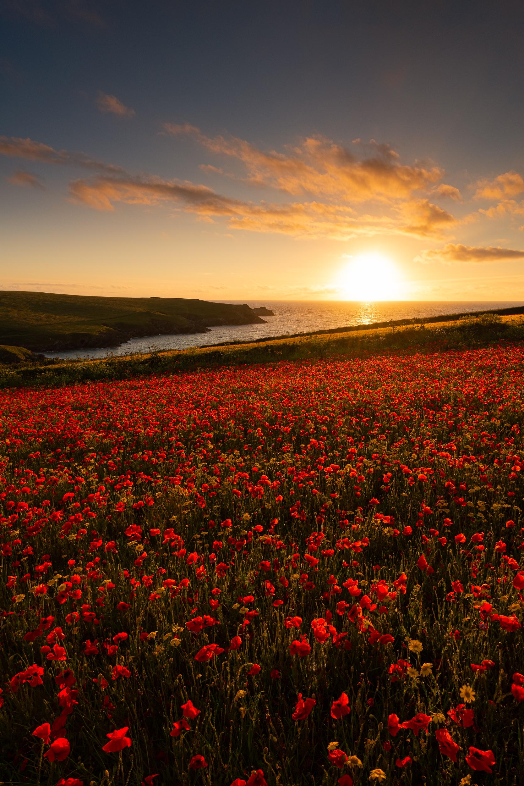 wildflowers-poppies-sunset.jpg