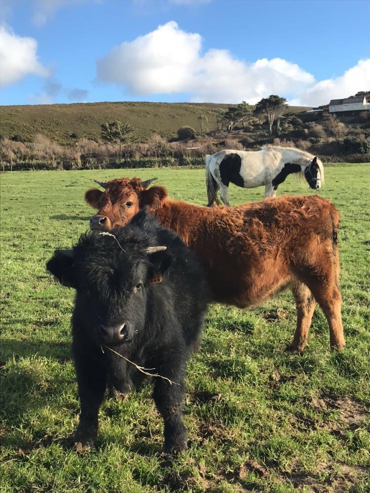 Taureau et vache Dexter d'Irlande- Gontran et Gertrude.jpg