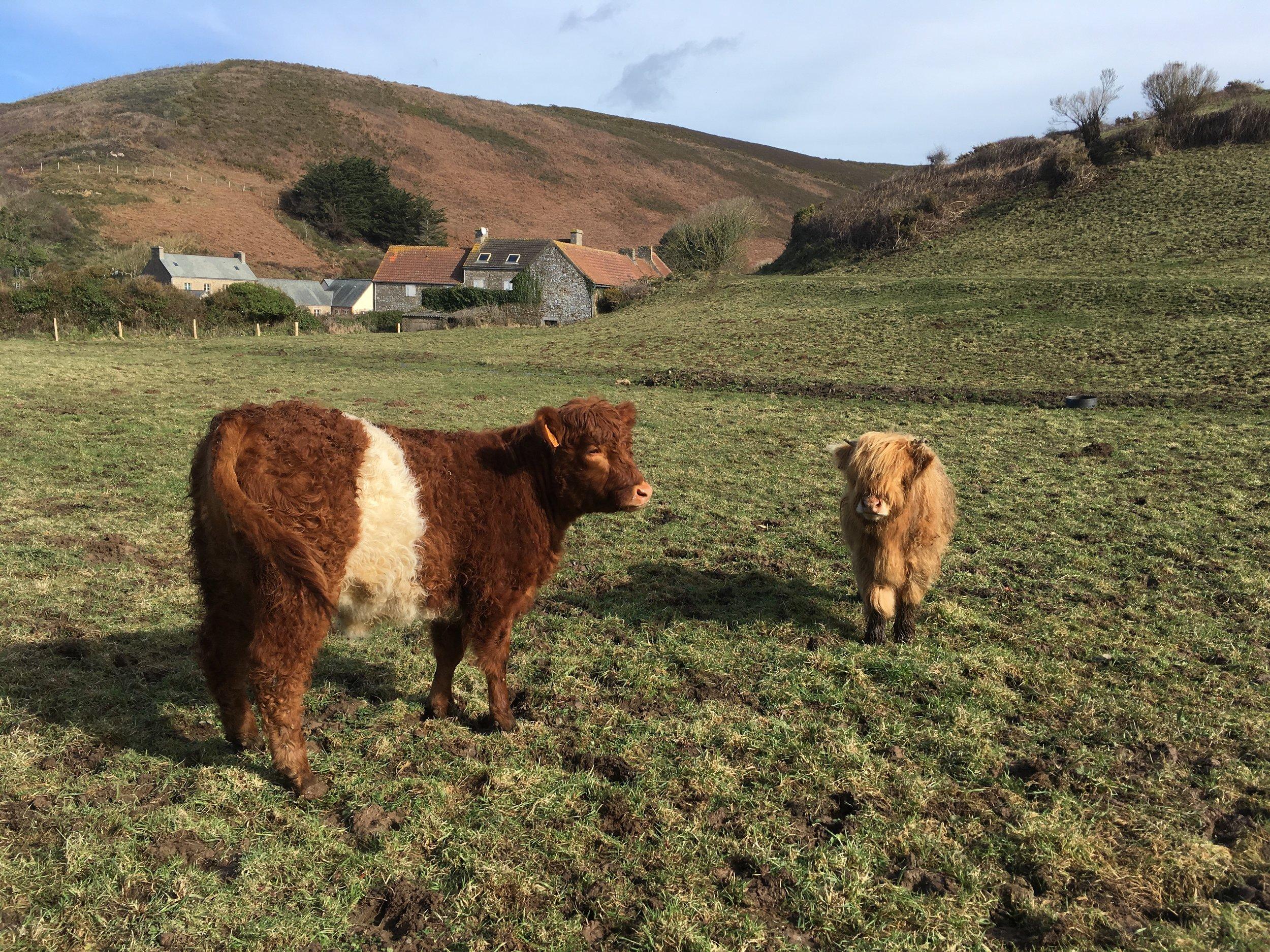 Vache Galloway d'Ecosse et Vache des Highland d'Ecosse 2.jpg