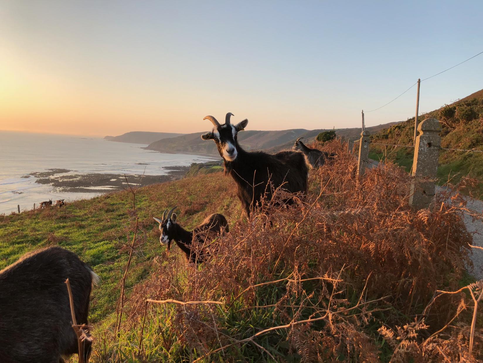 Chèvres des Fossés - Landes de Vauville - copie.png