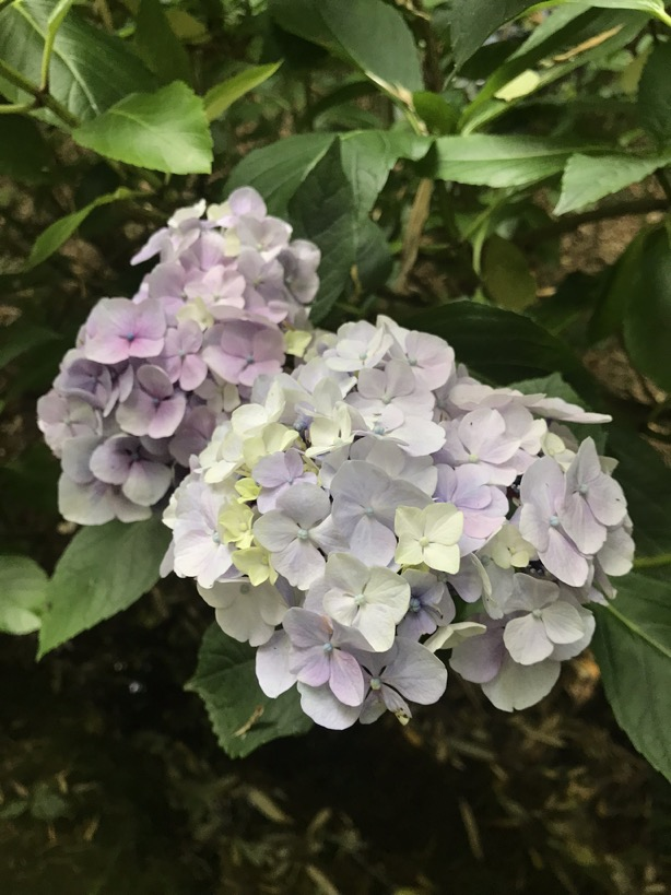 Hydrangea macrophylla 'Eric Pellerin'