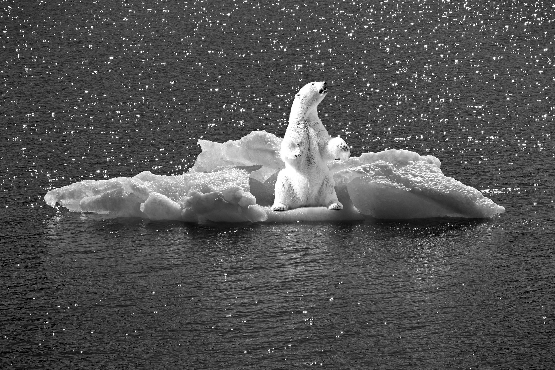 Blue_polar bear bw.jpeg