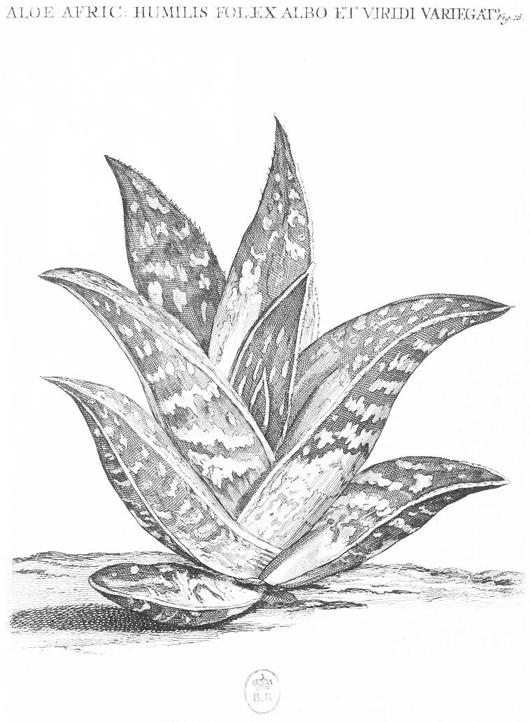 herbier-aloe1.jpg