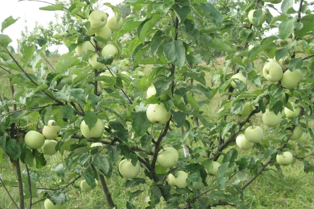 Яблоки.jpeg