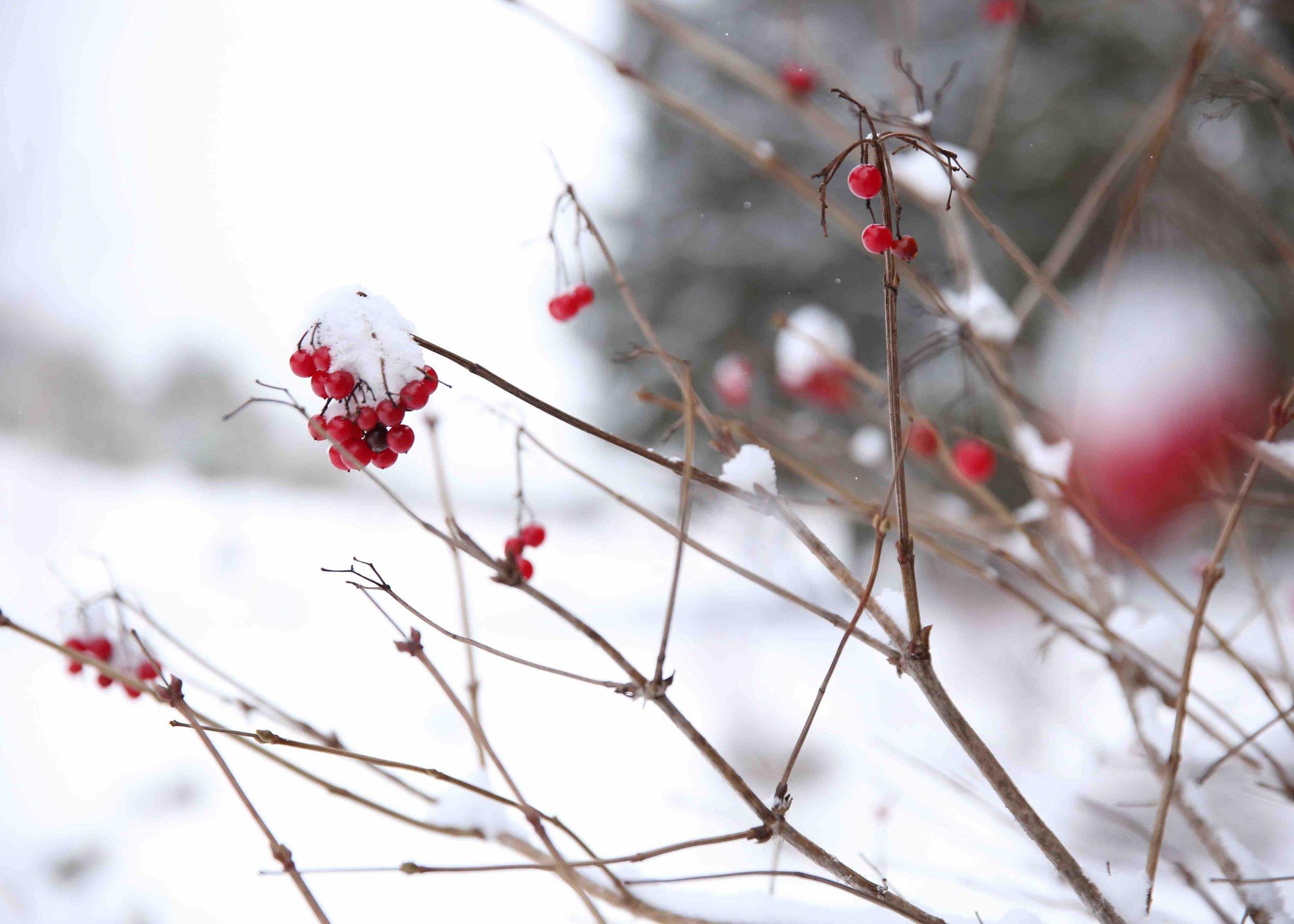 Калина-для птиц-присыпанная-снегом-в-загородном-отеле-на-озере.jpg