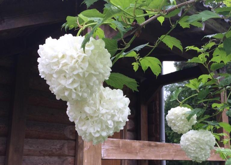 белая-гортензия-в-цвету-в-загородном-отеле-на-озере.jpg