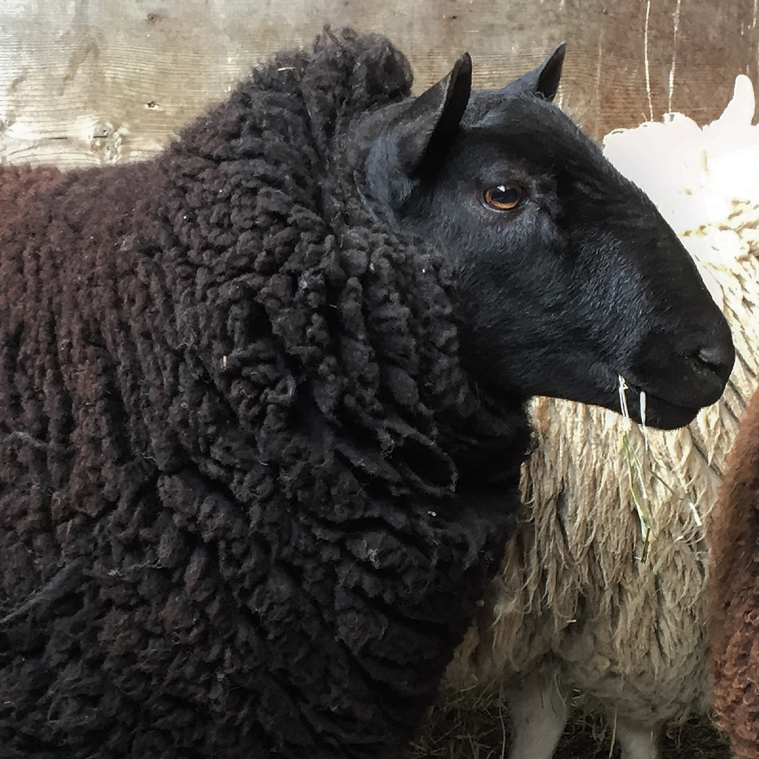 "Black 2018 Ram  - Twin Black ram lamb out of our main black ram ""Randy"" and one of our main black flock ewes. We have been growing him out to see what he would become. We are very pleased with how well he has developed and we are now offering him for sale as a proven ram. $400. Contact for more info."