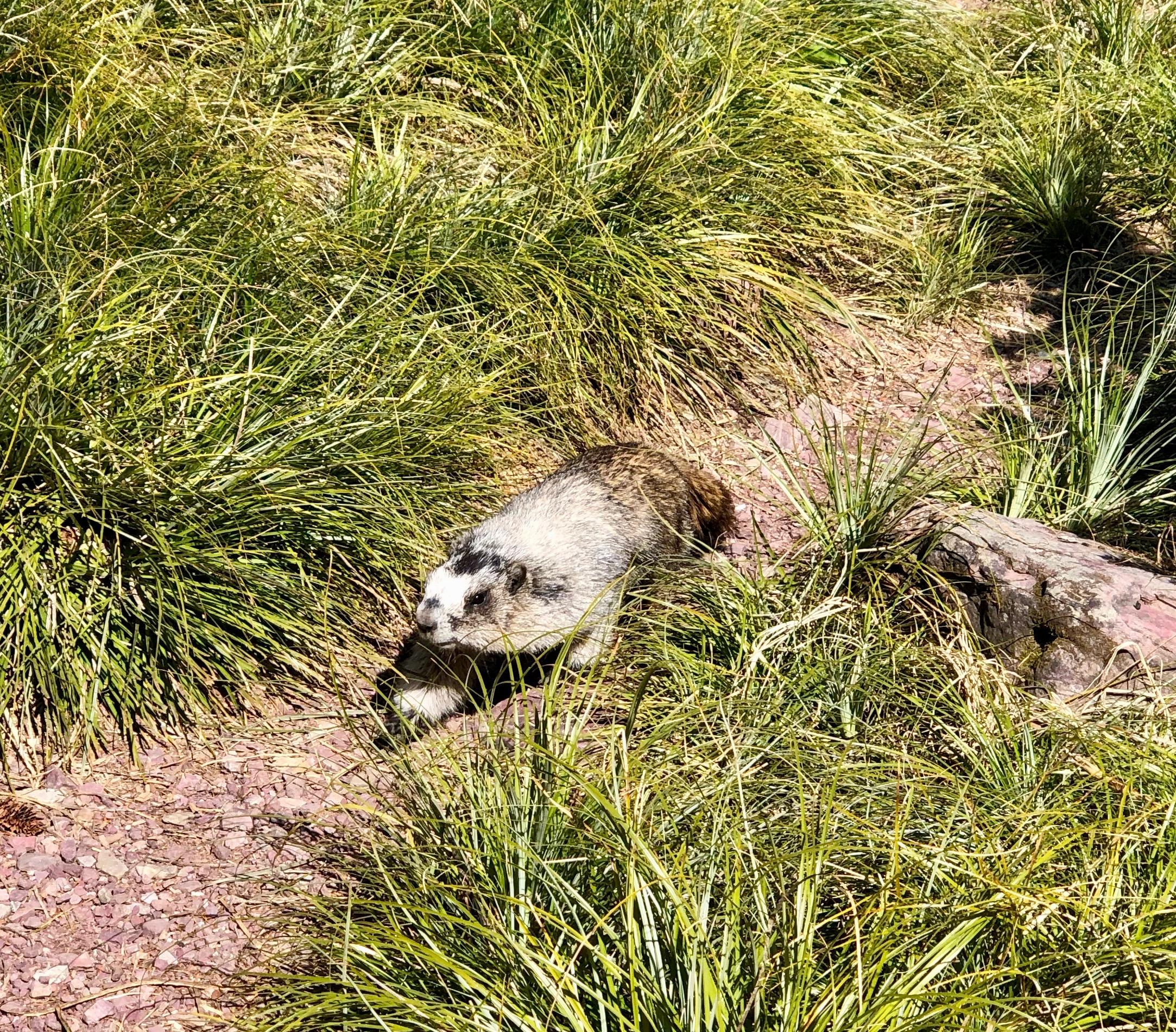 Marmot.jpeg