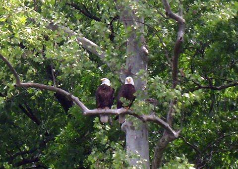 Bald Eagle at Wildcat.jpg