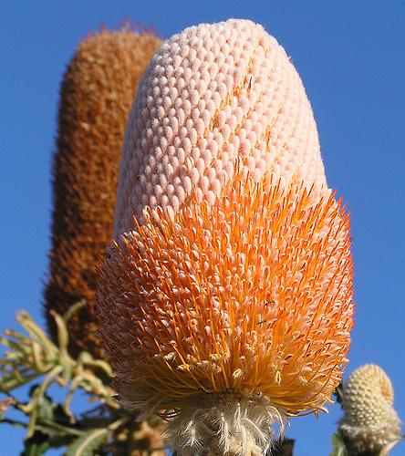 Acorn Banksia