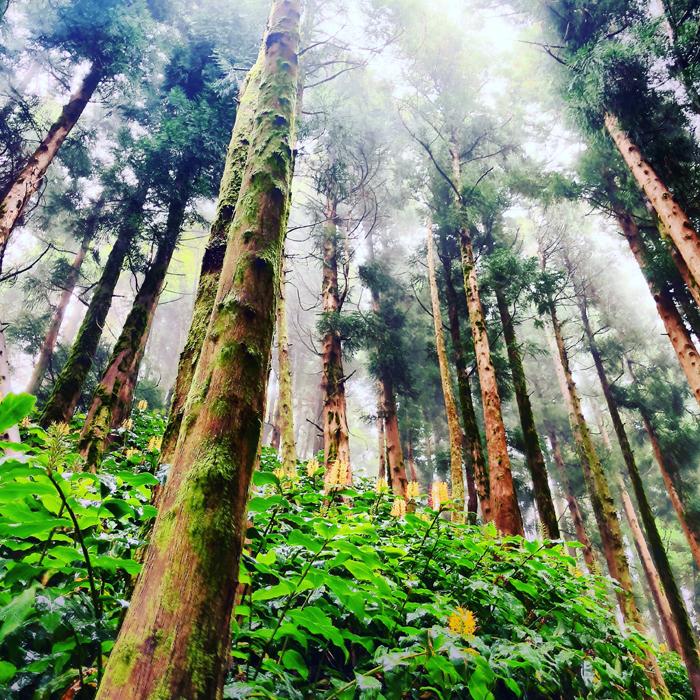 azorean forest.jpg