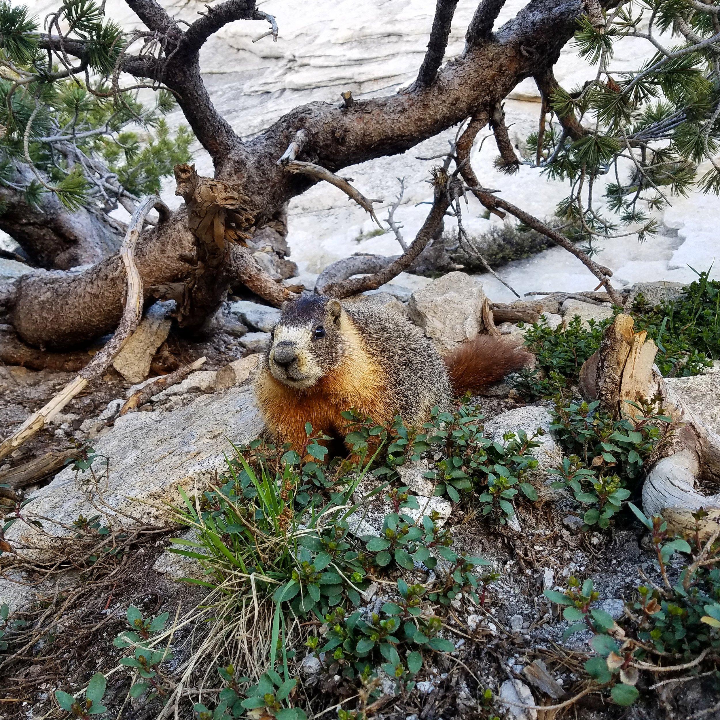 Yellow-bellied Marmot ( Marmota flaviventris ) in Tuolumne