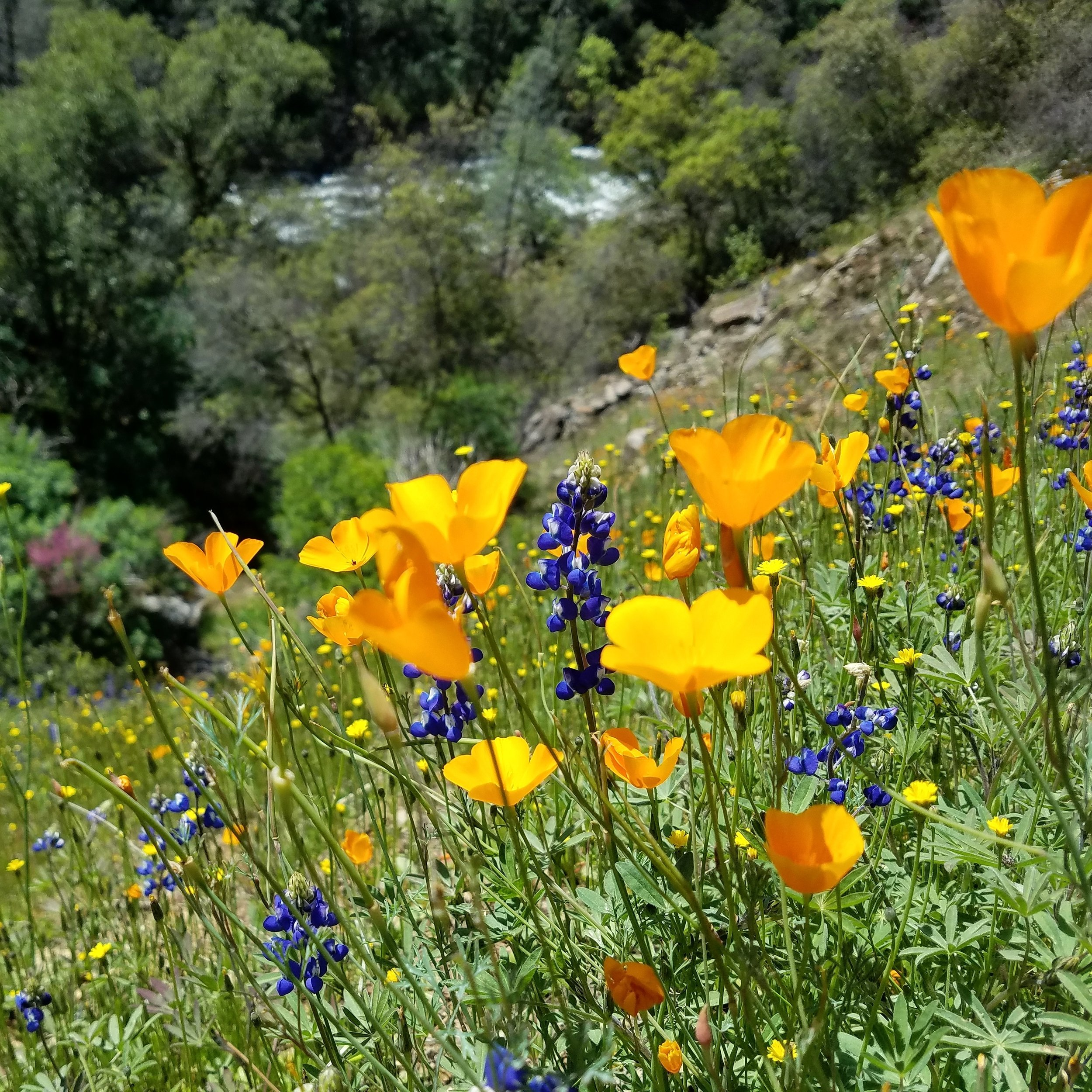 California Poppies   (Eschscholzia californica)   and  Harlequin Lupine  (Lupinus stiversii)   at Hite's Cove just outside of the park.