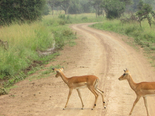 Let's cross… - The Oribi antelopes hoping to graze on the other side of the road in the Akagera National Park. Photo credits: Lobelia Tours