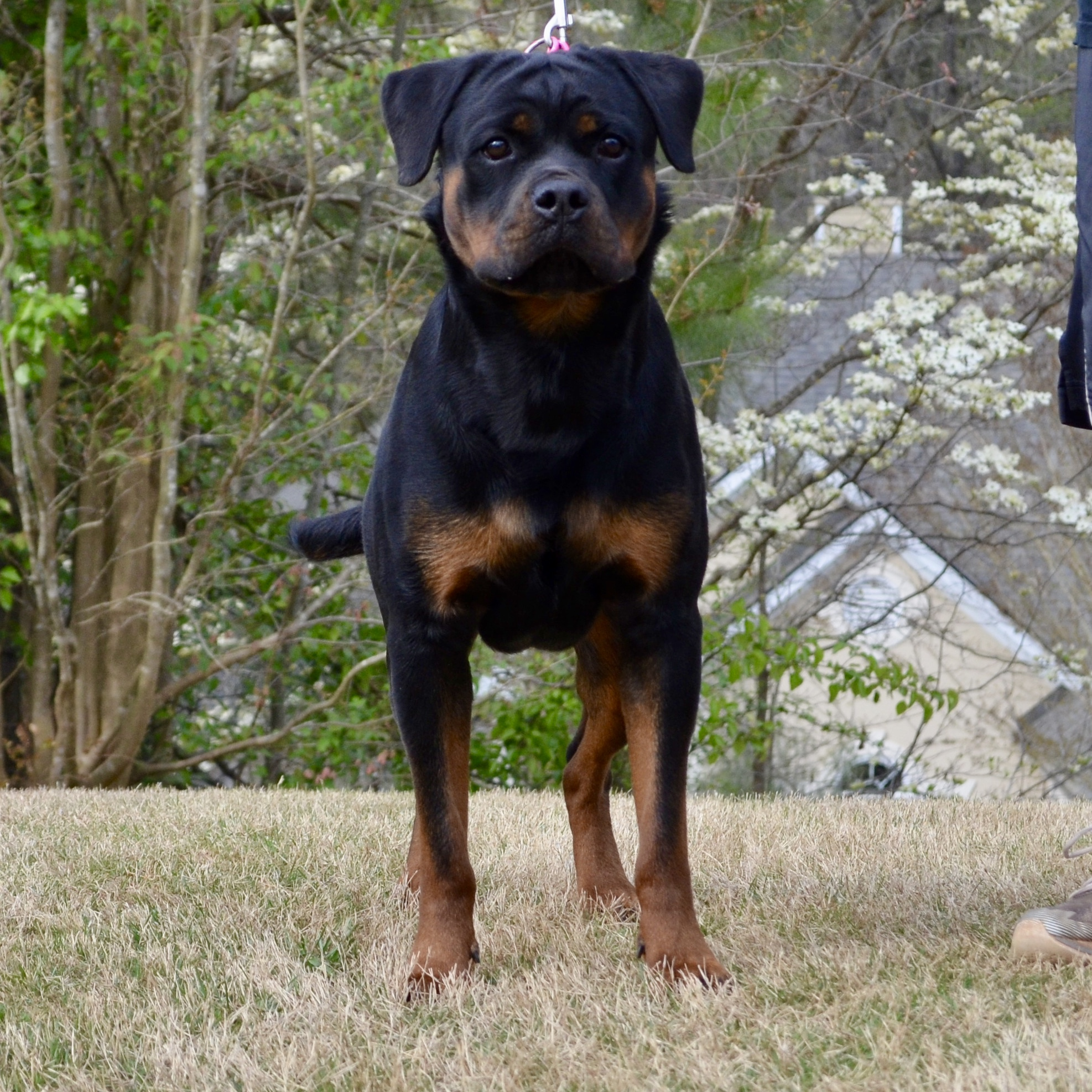 Kendy Vom Hause Earnest, Adult Female Rottweiler in GA