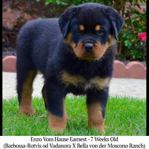 Enzo Vom Hause Earnest - 7 Weeks Old